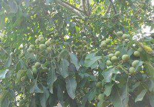 درخت گردوی چندلر
